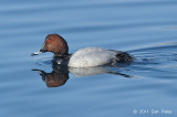 Pochard, Common @ Hanasakiminato Harbor