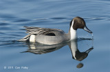 Pintail, Northern (male) @ Hanasakiminato Harbor