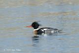 Merganser, Red-breasted (male) @ Habomai Harbor