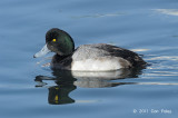 Scaup, Greater (male) @ Hanasakiminato Harbor