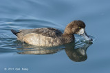 Scaup, Greater (female) @ Hanasakiminato Harbor