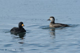 Scoter, Black (male & fem) @ Hanasakiminato Harbor