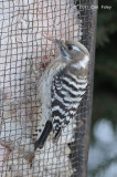 Woodpecker, Japanese Pygmy @ Nemuro