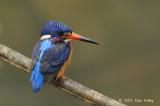 Kingfisher, Blue-eared (male) @ Lower Peirce
