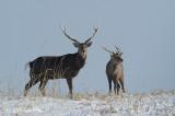 Deer, Sika