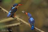 Kingfisher, Blue-eared (pair) @ Lower Peirce