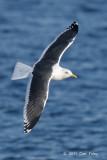Gull, Slaty-backed
