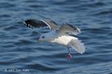 Gull, Slaty-backed @ Odaito