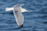 Gull, Vega @ Odaito