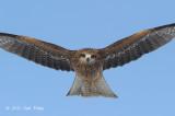 Kite, Black-eared