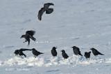 Crow, Large-billed @ Nemuro