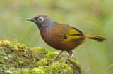 Laughingthrush, Chestnut-crowned