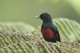 Oriole, Black-and-Crimson (male) @ Jelai Resort