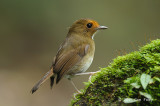 Flycatcher, Rufous-browed @ Hemmant Trail