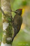 Yellownape, Lesser