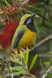 Leafbird, Orange-bellied (male) @ Jelai Resort
