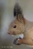 Squirrel, Hokkaio