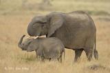 Elephant, African Bush