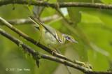 Shrike-Babbler, Black-eared