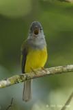 Flycatcher,Grey-headed Canary @ Cameron Highlands