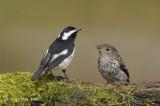Flycatcher, Little Pied (male & juv) @ Cameron Highlands