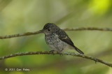 Flycatcher, Little Pied (juv) @ Cameron Highlands