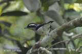 Shrike-babbler, White-browed (male) @ Telecom Loop