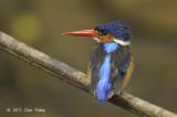 Kingfisher, Blue-eared (female) @ Lower Peirce