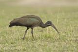 Ibis, Hadeda (immature)