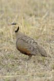Sandgrouse, Yellow-throated (male)