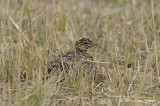 Sandgrouse, Yellow-throated (juv)
