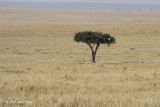 Acacia Tree with Cheetah