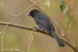 Flycatcher, Northern Black