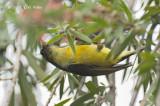 Sunbird, Collared (eclipse)