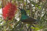 Sunbird, Collared (female)