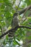 Cuckoo, Malaysian Hawk (adult)