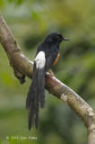 Shama, White-rumped (male)
