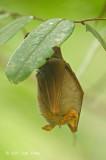 Bat, Trefoil Horseshoe