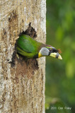 Barbet, Fire-tufted (male) @ Jalan Richmond