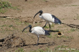Ibis, African Sacred