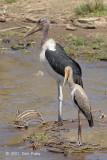 Stork, Yellow-billed (juvenile)