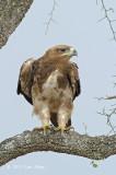 Eagle, Tawny