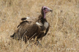 Vulture, Hooded