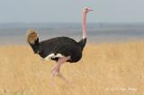 Ostrich, Common (male)