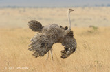 Ostrich, Common (fem mating display)