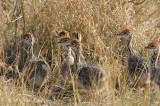 Ostrich, Common (chicks)