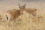 Hartebeest (female)