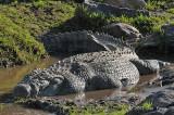 Crocodile, Nile
