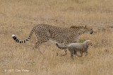 Cheetah & two cubs
