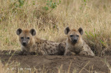 Hyena, Spotted (older cubs)